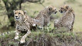 一头猎豹特写镜头休息在一个草覆盖的土墩顶部的两猎豹frontview和backview  库存图片