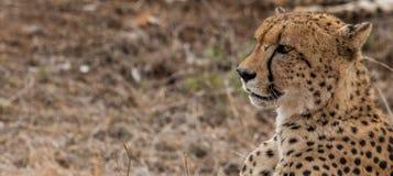 一头猎豹的旁边外形在克留格尔国家公园,南非 免版税库存照片