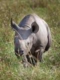 一头猎豹的旁边外形在马塞人MaraBlack犀牛小牛的在平原 库存图片