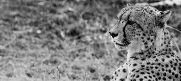 一头猎豹的旁边外形在黑白的在克留格尔国家公园,南非 免版税库存图片
