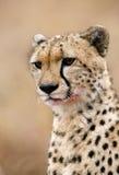 一头猎豹的Protrait在吃它的杀害以后 图库摄影
