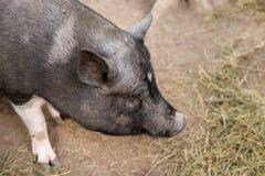 一头猪的口鼻部在大的农场的 免版税库存照片