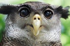 一头猫头鹰 免版税库存图片