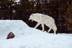 一头疲乏的狼打呵欠与雪在放松时间的冬天 免版税库存图片