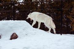 一头疲乏的狼打呵欠与雪在放松时间的冬天 免版税库存照片