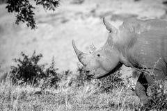 一头白色犀牛的旁边外形在克留格尔国家公园,南 免版税库存图片