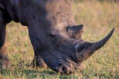 一头白色犀牛的画象在晚天太阳的 免版税库存图片