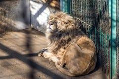 一头白色狮子在东北虎公园,哈尔滨,中国 免版税库存图片