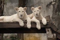 一头白色狮子的瞄准 免版税库存照片