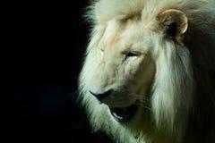 一头白色狮子的画象 免版税库存图片