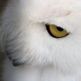 一头白色猫头鹰的眼睛 库存照片