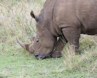 一头白色的犀牛的头的特写镜头sideview站立吃草 免版税库存照片