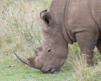 一头白色的犀牛的头的特写镜头sideview站立吃草 免版税库存图片