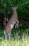 一头白被盯梢的鹿在森林里讨好搜寻在树 库存图片