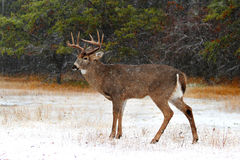 一头白被盯梢的鹿在森林里顽抗在冬天 库存照片