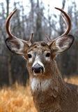 一头白被盯梢的鹿在车轮痕迹顽抗在森林里 免版税库存图片