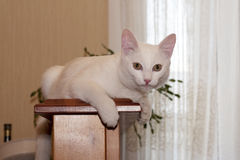 一年的老公白色猫的画象 免版税图库摄影
