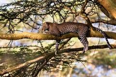 一头睡觉豹子的画象在树的 纳库鲁 库存照片