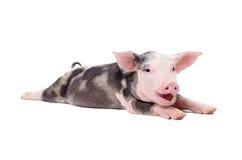 一头滑稽的作古噜声猪的画象 免版税库存图片