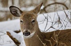 一头滑稽的困野生鹿的美丽的画象在多雪的森林里 库存照片