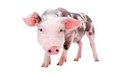 一头滑稽的好奇猪的画象 库存图片