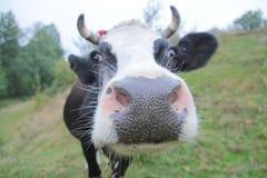 一头滑稽的母牛的特写镜头在农田的 库存照片