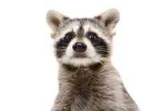 一头滑稽的浣熊的画象 免版税库存图片