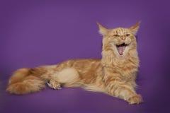 一头滑稽的红色猫缅因浣熊在淡紫色背景打呵欠 免版税库存照片
