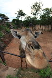 一头滑稽的长颈鹿的特写镜头 图库摄影