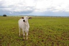 一头空白母牛 免版税库存照片