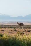 一头笨拙看的长颈鹿 图库摄影