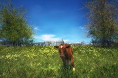 一头红色母牛在草甸吃草反对老木篱芭 库存图片