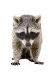 一头美丽的浣熊的画象 图库摄影