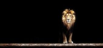 一头美丽的狮子的画象,在黑暗的狮子 免版税库存图片