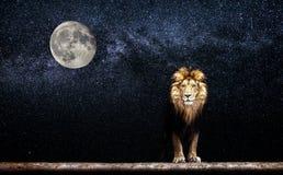 一头美丽的狮子的画象,狮子在繁星之夜 图库摄影