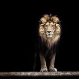 一头美丽的狮子的画象 免版税库存照片