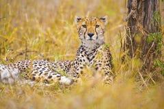 一头美丽的猎豹在塞伦盖蒂休息在大草原 库存图片