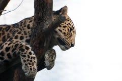一头美丽的豹子在动物园里 库存照片