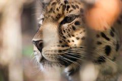 一头美丽的豹子在动物园里 图库摄影
