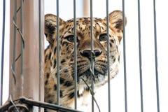 一头美丽的豹子在动物园里 免版税库存照片