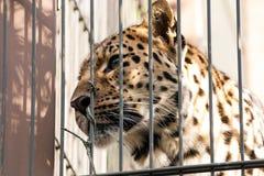 一头美丽的豹子在动物园里 免版税图库摄影