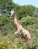 长颈鹿在非洲 免版税库存照片