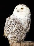 一头美丽的雪猫头鹰的画象 免版税库存图片