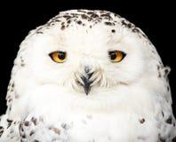 一头美丽的雪猫头鹰的画象 免版税库存照片