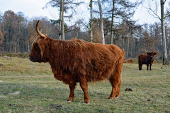一头美丽的高地母牛的边 免版税库存照片
