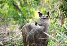 一头美丽的水鹿鹿的Potrait 库存照片