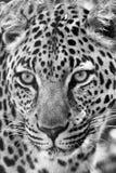 一头美妙的豹子的画象在kruger的 免版税库存照片