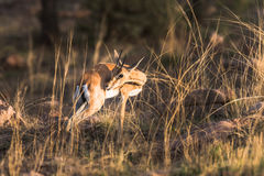 一年轻羚羊凝视 库存图片