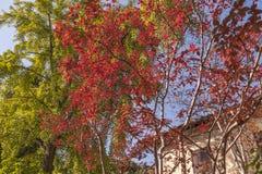 一间老农舍的上面由一棵美丽的红色树装饰了 库存图片