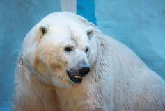 一头老北极熊的特写镜头画象 免版税库存照片